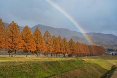 虹のメタセコイヤ並木