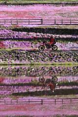 芝桜リフレクション2