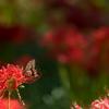 彼岸花とアゲハ