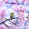 河津桜に包まれて