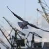 神戸港のユリカモメ