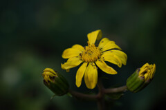 困難に負けない石蕗の花-2