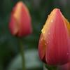 濡れた花弁ー1