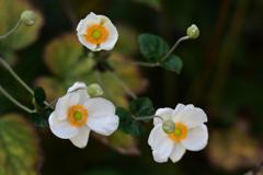 秋明菊-1