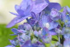 雨上がりの紫陽花ー3