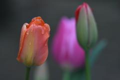 濡れた花弁ー4