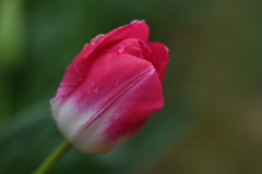 濡れた花弁ー2