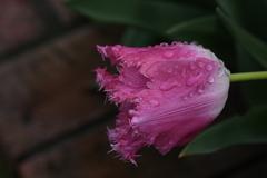 雨後の花(1)