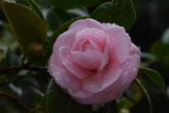 雨に濡れる八重椿