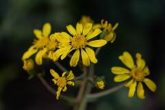 困難に負けない石蕗の花-1