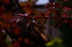 秋雨の紅葉