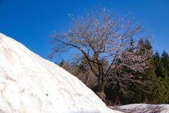 雪桜(星峠にて)