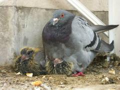 鳩が巣をつくってヒナを育ててた