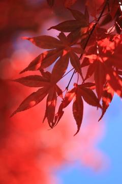 紅葉を愛でる