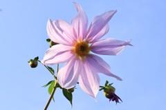 青い空に似合う花