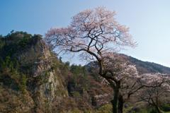 乙女ヶ越の桜