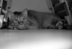 スノコ猫1〜トラ