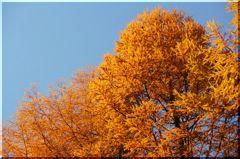 黄葉のカラ松