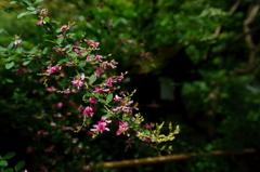 古都の社の萩の花