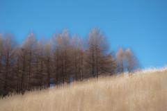 落葉松の丘