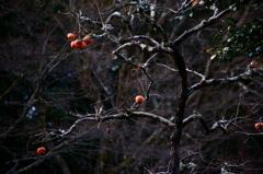 京都年の瀬散歩-忘れ柿-
