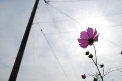秋桜と太陽と電柱