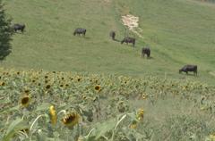 向日葵と牛