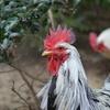 凛々しい鶏冠
