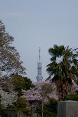 墓と桜とスカイツリー