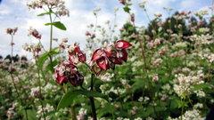蕎麦の花と未熟な実