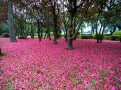 サザンカの花のカーペット1