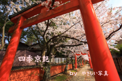 四季京艶 桜花の候 九