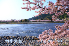 四季京艶 桜花の候 五