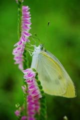 ネジ花と蝶