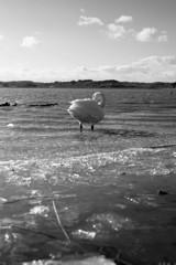 氷上の白鳥