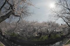 岩倉桜並木