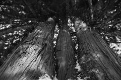 戸隠の三本杉-ウラ-