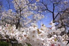 桜の下は・・・