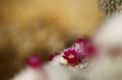 砂漠に咲く花々