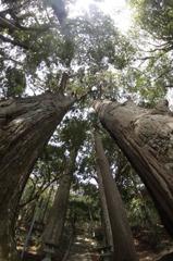 野中の一方杉