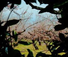 垣根越しの梅