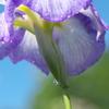 紫の雨傘!