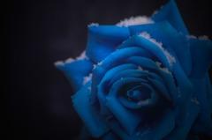 Rose of snow ~虚像~