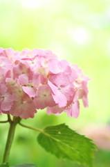 美しき桃色の紫陽花