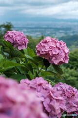 紫陽花と眺望