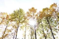 ユリノキの秋