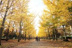 黄色の並木道