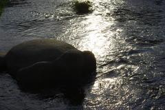 賀茂川のカメ