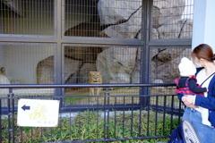 ライオンと