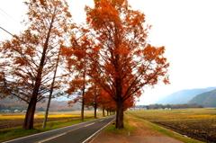 滋賀県 マキノ メタセコイア